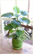 ウンベラータステラグリーン鉢